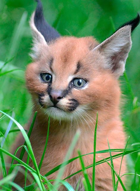 kucing caracal kucing paling eksotis di dunia-9