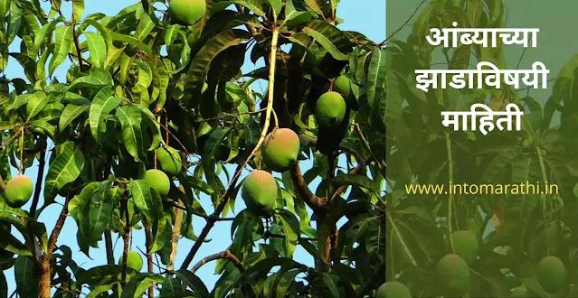 mango tree information in marathi language  -आंबा झाडाविषयी संपूर्ण माहिती