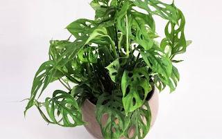 tanaman hias viral janda bolong