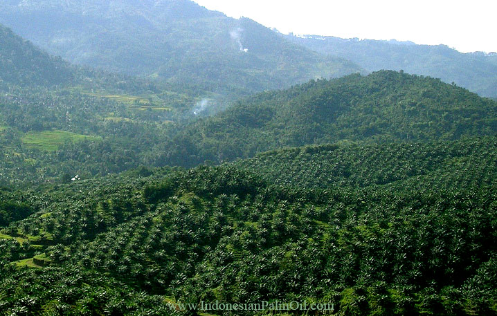 forests misused illegal oil palm