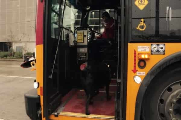 Street Smart Canine Knows Exactly How To Use Bus Pass To Reach The Pet Dog Park Alone
