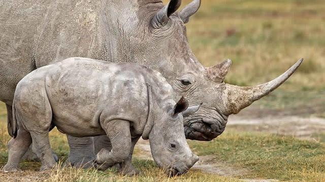 صغار الحيوانات : صغير وحيد القرن