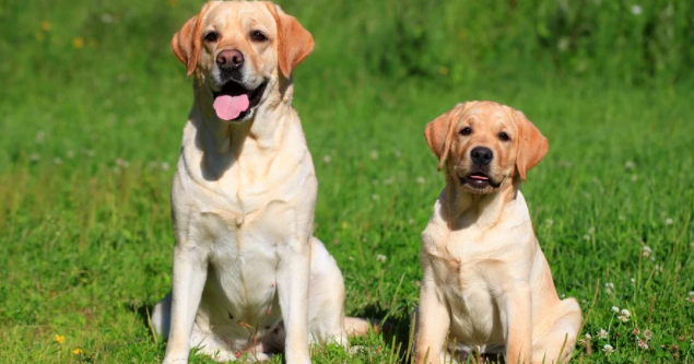 Original Breed Labrador Puppy Price In Indore
