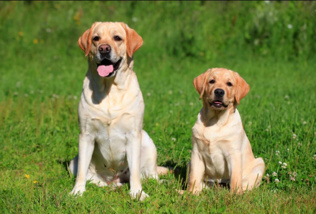 labrador cost in West Bengal, labrador price in West Bengal, labrador baby price in West Bengal, cost of labrador in West Bengal, labrador puppy sale in West Bengal