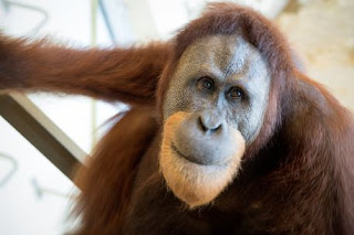 Rocky the orangutan great ape who talks like a human being