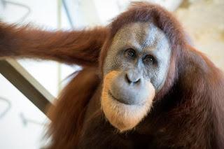 Rocky the orangutan great ape who talks like a human being