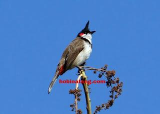 burung kicau Hewan Peliharaan Lucu di Rumah yang Mudah Dipelihara dan Murah