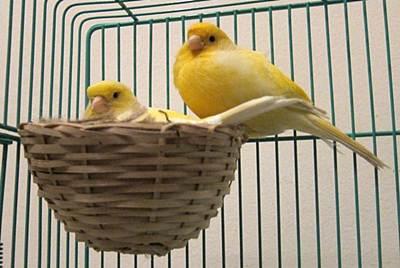 Ciri - Ciri Burung Kenari