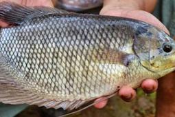 Untung Berlipat Budidaya Ikan Gurame Dеngаn Pakan Organik