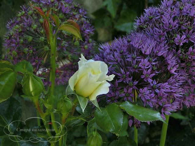 розы, будапешт, сад в будапеште