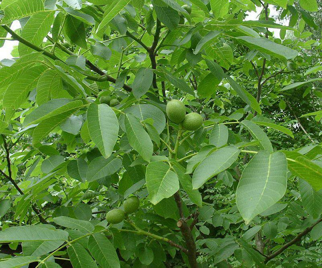 Cây Kha Tử - Terminalia chebula - Nguyên liệu làm thuốc Chữa Đi lỏng-Đau Bụng