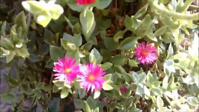 A floração se estende durante o ano todo, por causa do seu ciclo de vida perene. As flores são muito atrativas para insetos como abelhas e borboletas, ajudando a enfeitar os jardins externos. É também uma planta que pode ser ingerida, se aproximando do espinafre em termos de sabor.
