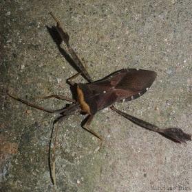 Insetologia - Identificação de insetos: Percevejo Leptoglossus no Rio Grande do Sul