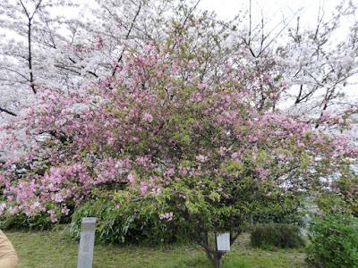 【大阪府吹田市】万博記念公園 桜 ハナカイドウ