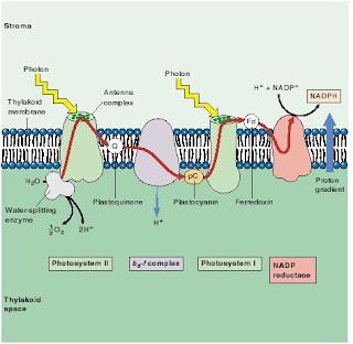 fotosistem I, fotosistem II, reaksi terang, fotosintsis, pemecahan air menghasilkan hidrogen dan oksigen