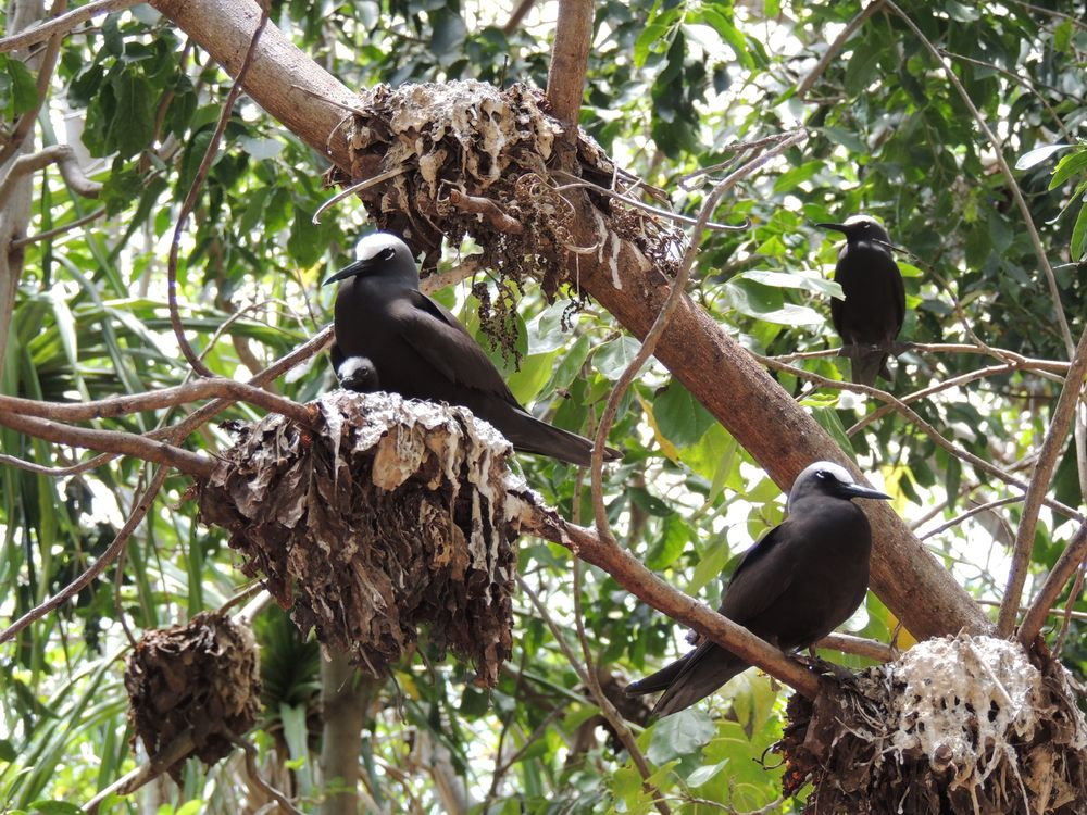Black noddies nest on Pisonia trees in Heron Island, Queensland