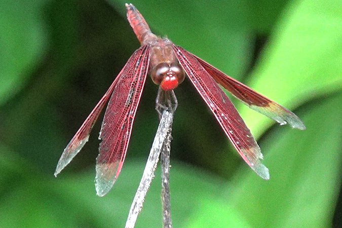 Dlium Red percher (Neurothemis ramburii)