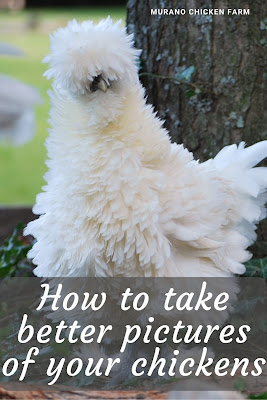 Fluffy white chicken, a perfect picture. Tutorial.