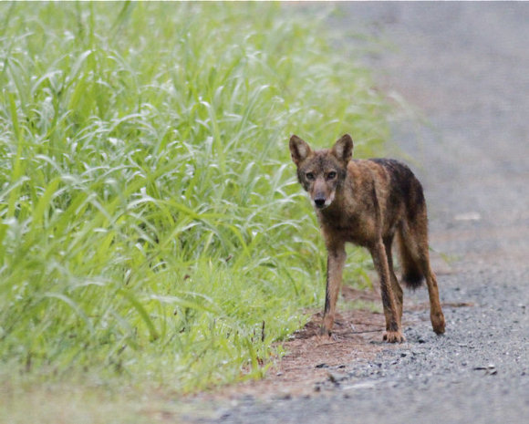 Coydog Nh: Pratie Place: Coyotes In Our Back Yards