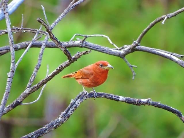 Piranga rubra flava ave roja