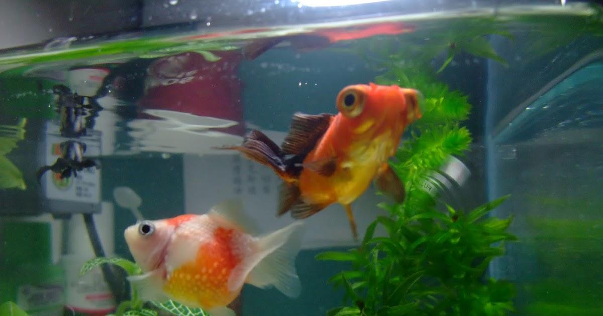 遊戲水族: ~開始飼養金魚~