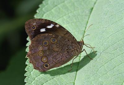 Mariposa chorreada (Manataria hercyna)