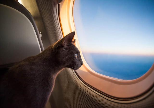 Kucing dalam pesawat