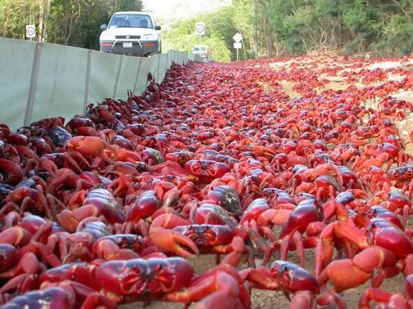 migración cangrejo rojo isla navidad