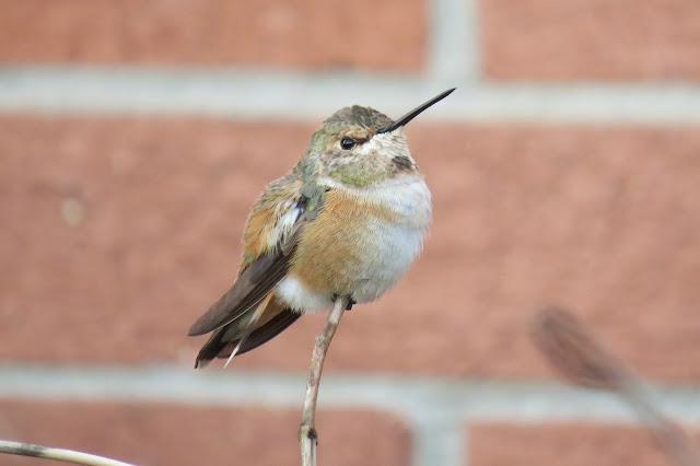 Vickie Henderson Art: Three Wintering Rufous Hummingbirds