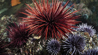 Sea Urchin pictures_Echinoidea