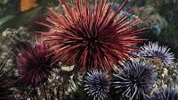 Sea Urchin pictures_Echinoidea