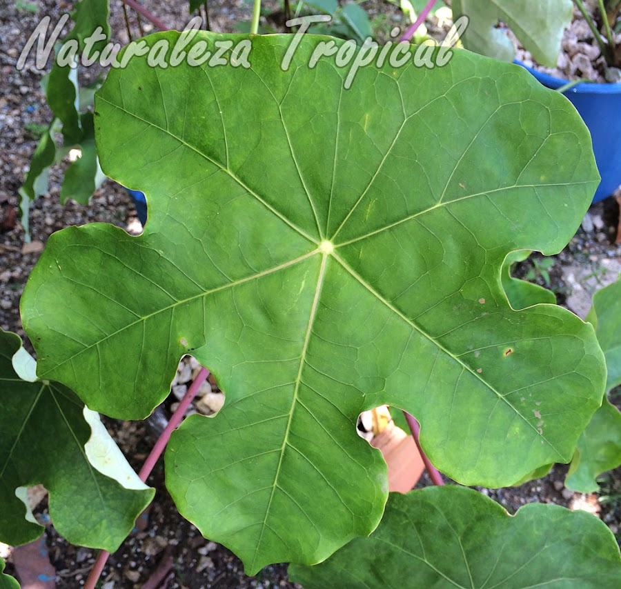 Detalle del limbo foliar de una hoja de la planta Jatrofa, Jatropha podagrica