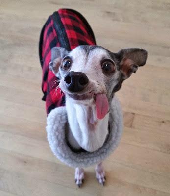 cachorro vestido de cuadros