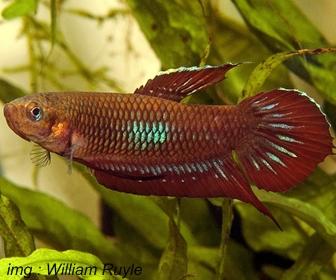 Jenis Ikan Cupang Spesies Betta Coccina