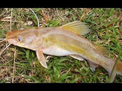 Image result for ikan keting