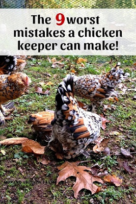 Deadly chicken keeping mistakes