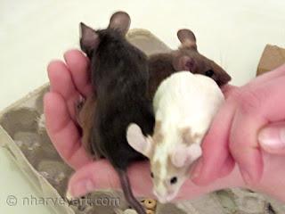 three fancy pet mice held in hands