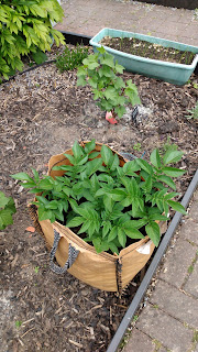 growing potatoes, Sarpo Axona, maincrop