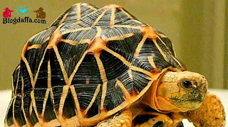 Kura-Kura Indian Star Tortois