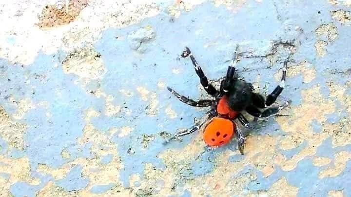 Σπάνιο είδος αράχνης-πασχαλίτσας