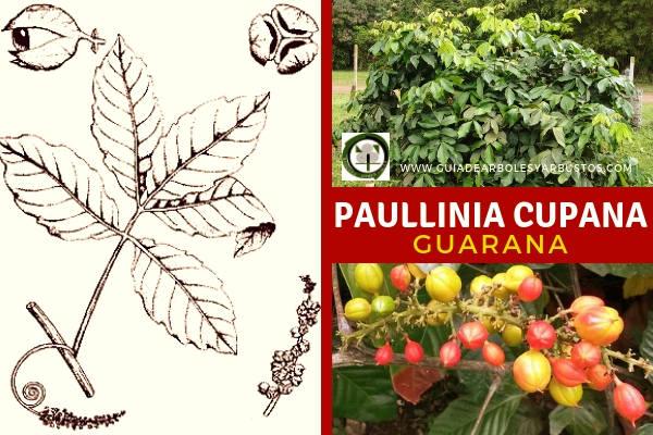 El  árbol frutal Paullinia cupana o guaraná utilizado como medicina tradicional amazónica