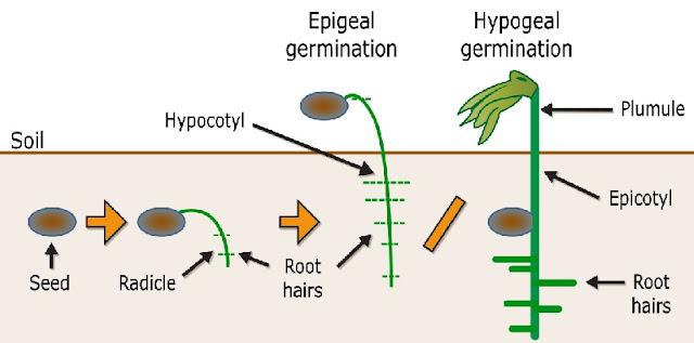 Karakteristik Perkecambahan Hipogeal