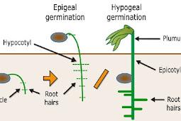 Karakteristik Perkecambahan Hipogeal pada Proses Perkecambahan Tumbuhan