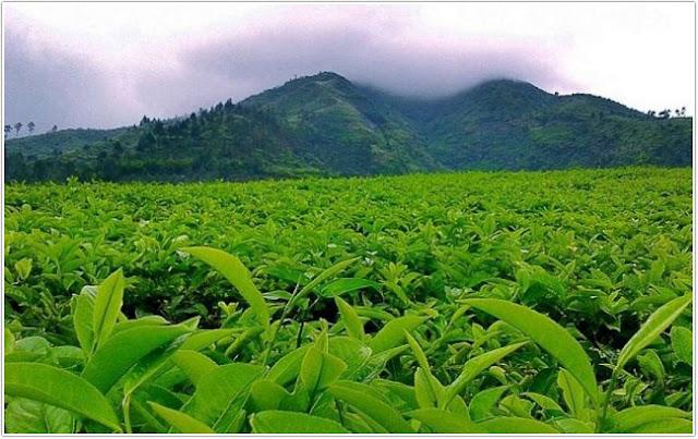 Kebun Teh Andung;10 Top Destinasi Wisata Probolinggo;