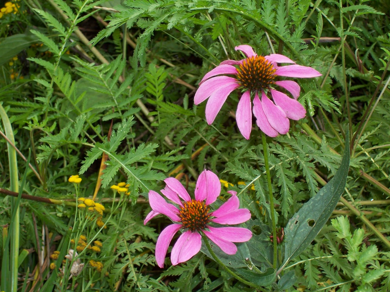 Garden Beauty Purple Coneflower Echinacea