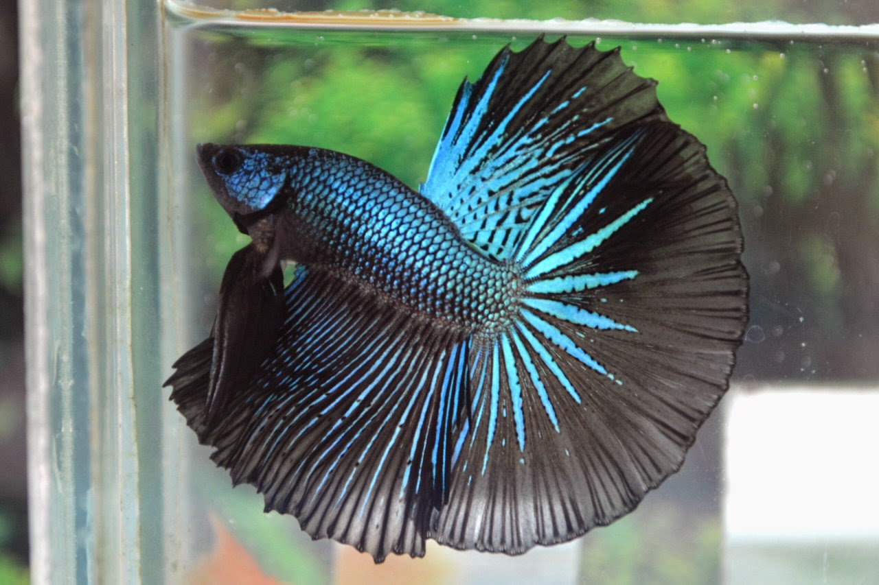 These are the most common types of Betta fish PLAKAT BETTA CROWNTAIL BETTA DOUBLE TAIL BETTA COMBTAIL BETTA ROSETAIL BETTA VEIL TAIL VT BETTA HALFMOON HM