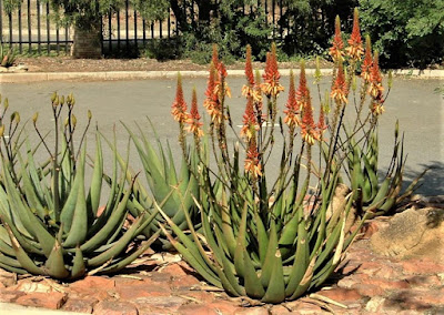 Aloe Cryptopoda - munsyafandi.com