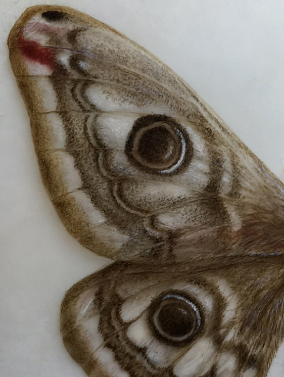 Emperor moth wing detail watercolor painting