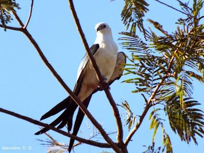 Gavião-tesoura, Elanoides forficatus, aves, aves do Brasil, birds, Palmas, Tocantins, aves do Tocantins, birdwatching, birding