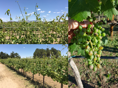 Composite photo of a grape vineyard showing tattered leaves and pock marked fruit caused by hail